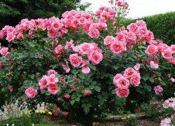 Vườn hồng 1ha, thu 1 tỷ đồng 1 tháng sau 5 năm làm việc
