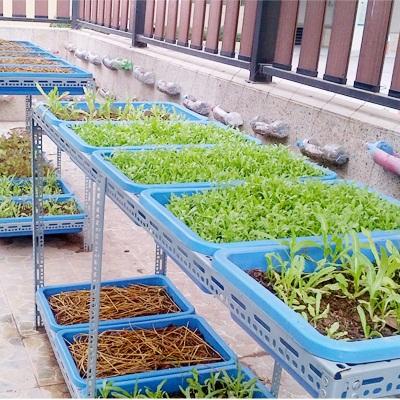 Khay trồng rau sạch tại nhà – khay thường