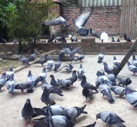 Nuôi chim bồ câu kiếm 2 tỷ một năm ở Bắc Giang.