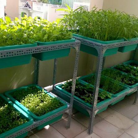 Mô hình trồng rau sạch với kệ trồng rau sạch hai tầng.