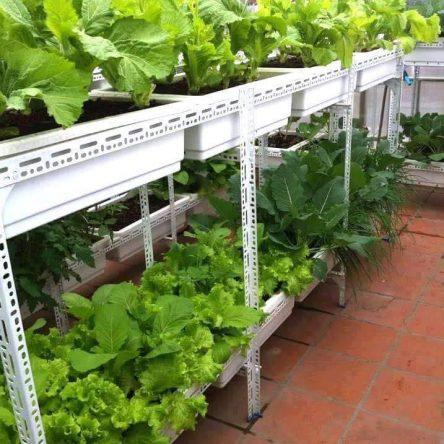 Mô hình trồng rau sạch tại nhà với kệ cho khay ngang.